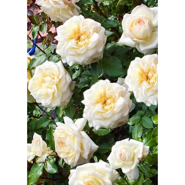 Роза флорибунда Чайковский