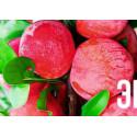 """Эксклюзив! Алыча насыщенно-розовая """"Маскарад"""" (Masquerade) (крымской селекции, крупноплодный сорт)"""