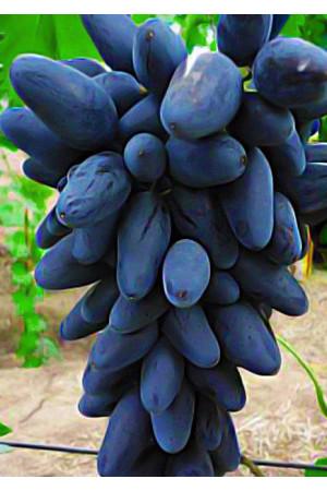 Виноград Викинг