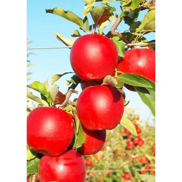 Яблоня Гала