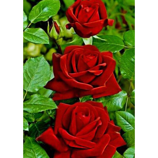Роза чайно-гибридная Леди Мария