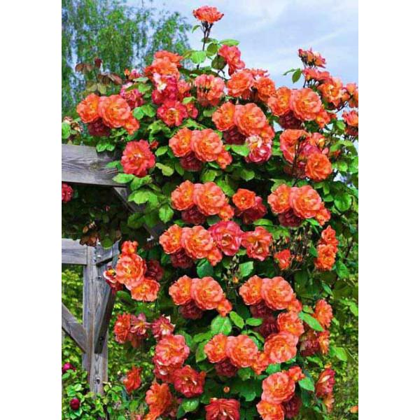 Роза плетистая Жемчужина стиля