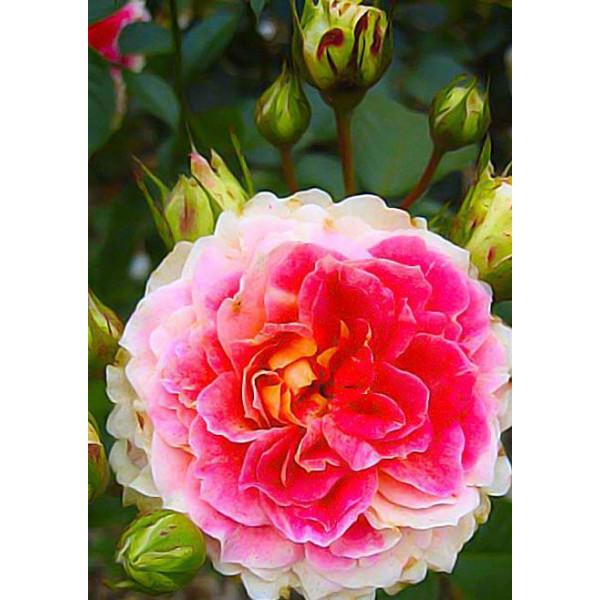Роза шраб Цезарь